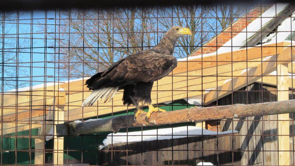Samici orla mořského se někdo pokusil otrávit, teď musí brát podpůrné léky na játra