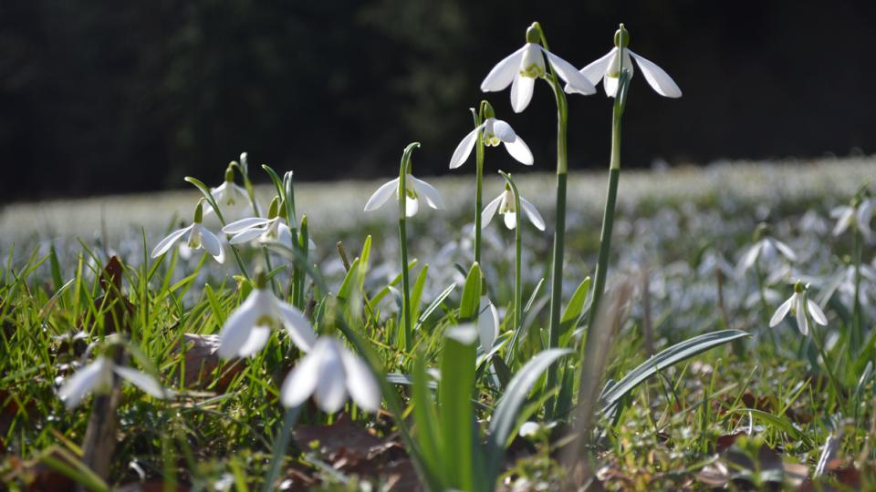 Do Chmelíku za sněženkami jezdí každé jaro lidé z blízkého i dalekého okolí