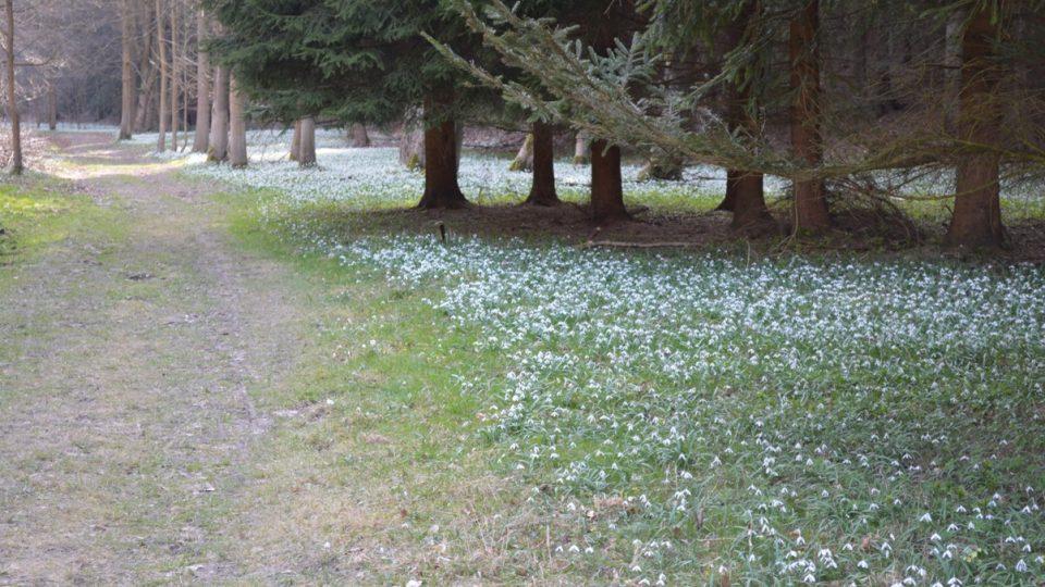 Sněženky na stráních a lesích Chmelíkutvoří na jaře sněhobílý koberec na ploše dvou a půl hektaru