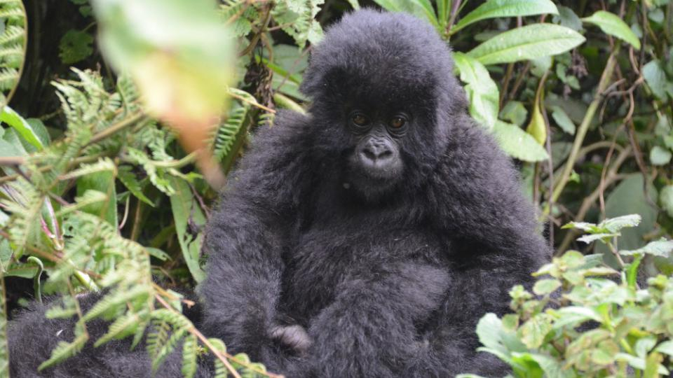 Rwanda - gorily horské