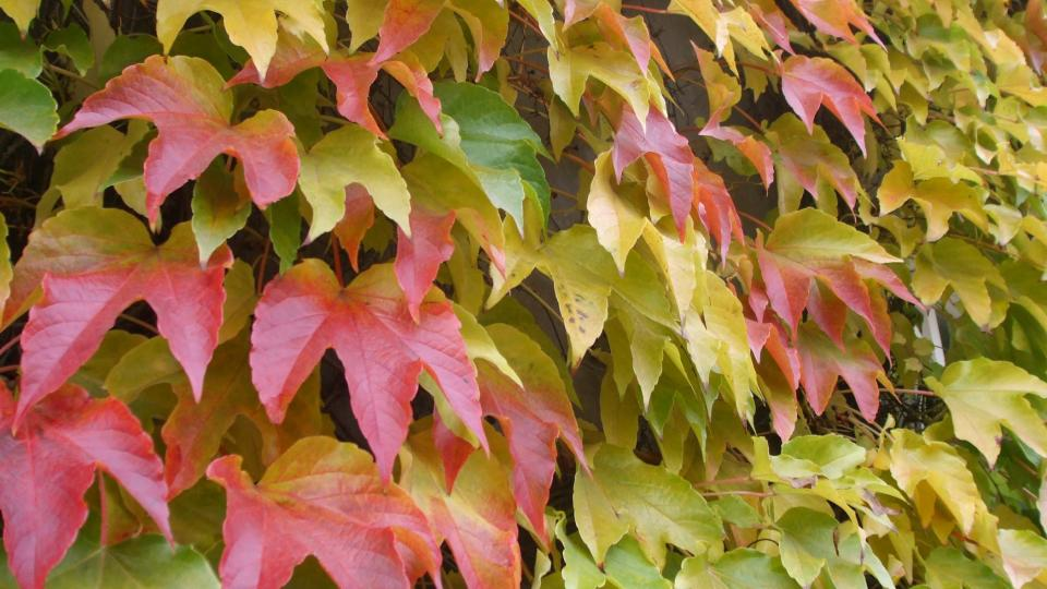 Přísavník potěší od jara do podzimu příjemnou zelení, na podzim pestrou paletou barev od zlatožluté po temně rudou až fialovou