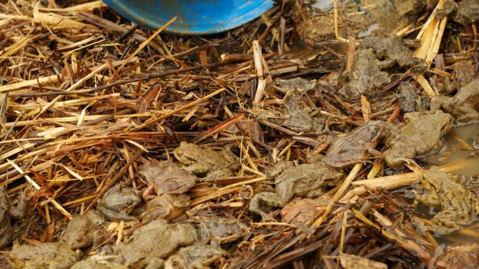 K dopravní bezpečnosti žab a k naplnění jejich jarní touhy přispívají i ochránci na Jičínsku