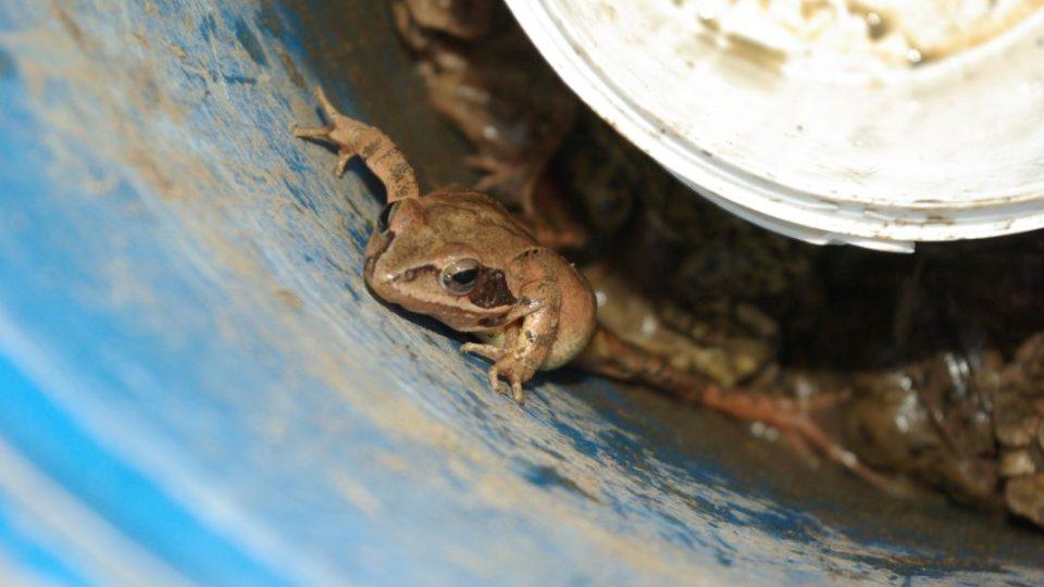 Žabí lapače jsou jistotou pro další rozmnožování