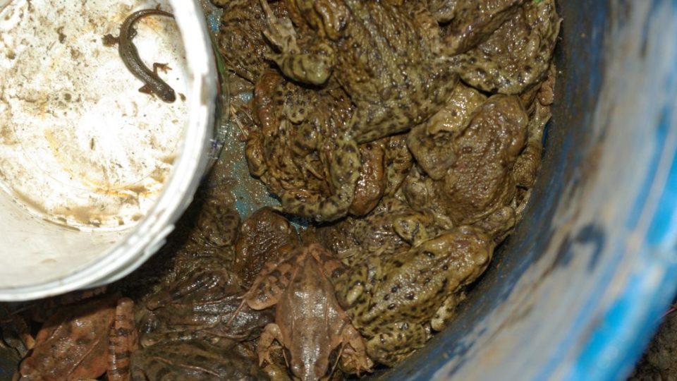 Žáby a čolek se bezpečně dostanou k místu rozmnožování