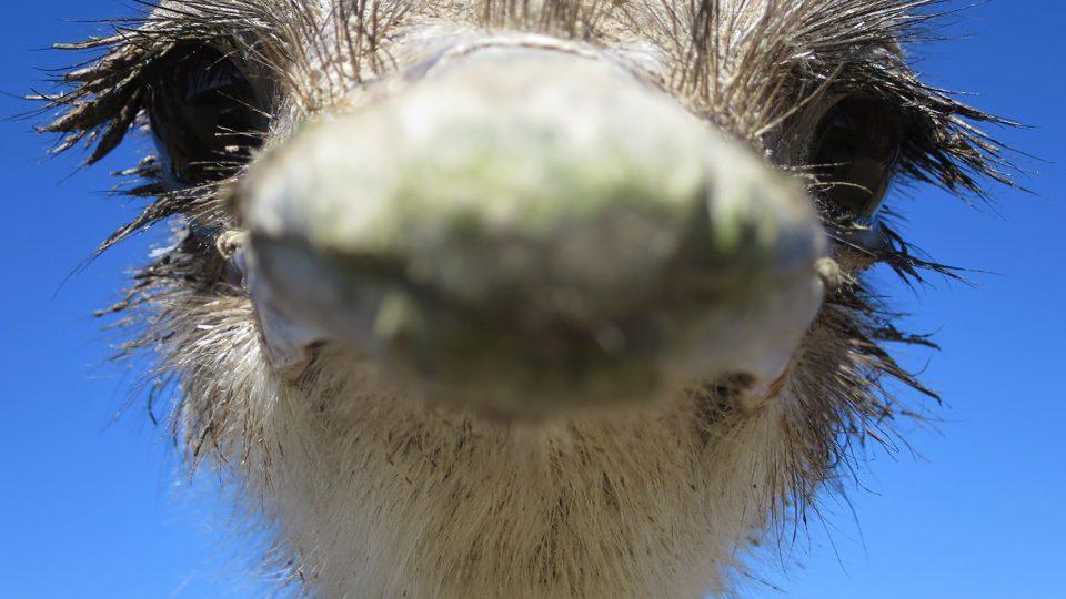 Fotografie pštrosa afrického, pořízená těsně před klovnutím