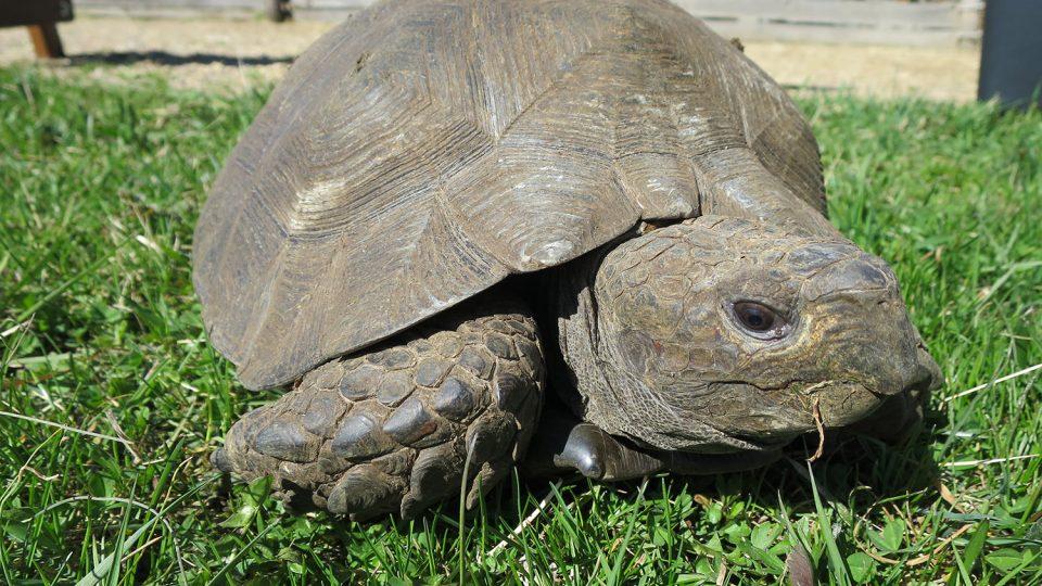 Jedním z posledních přírůstků zahrady je Manouria emys phayrei, asijská horská želva