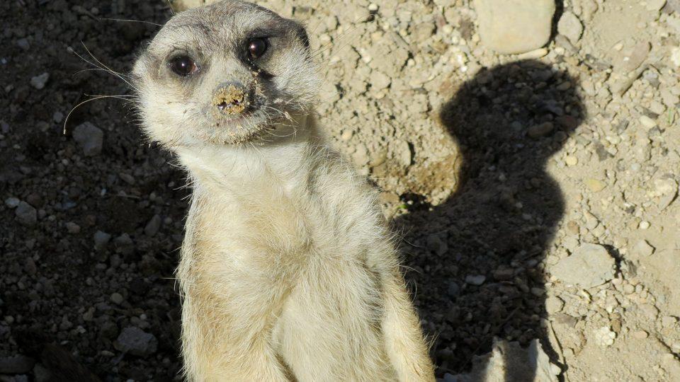 V současné době můžete ve venkovní expozici vidět dvě surikaty, jde o samečky
