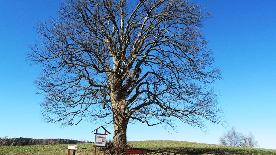 Strom rodáků je jedním ze zastávek na naučném okruhu městem
