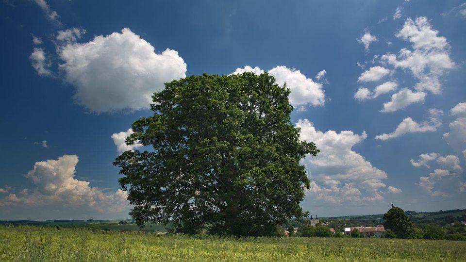 Strom rodáků. Tento javor sehrál důležitou roli ve filmu Všichni dobří rodáci