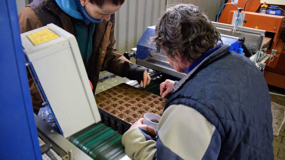Pracovnice linky sázejí semínka borovice do multiplata