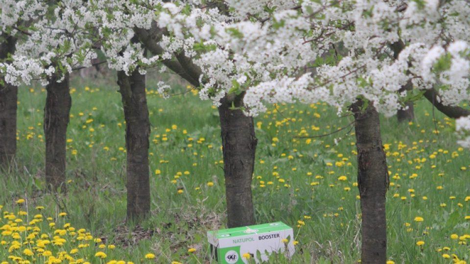 Čmelín ve višňovém sadu v Chelčicích