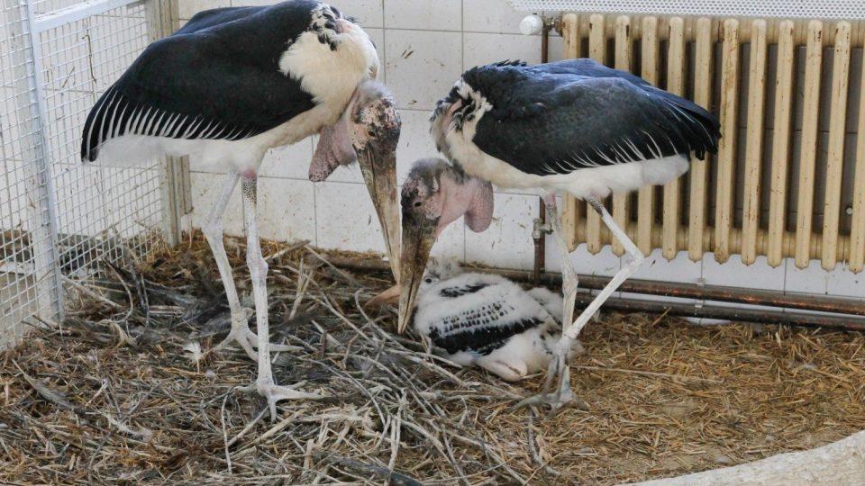 Královédvorská ZOO se chlubí mládětem vzácného čápa marabu