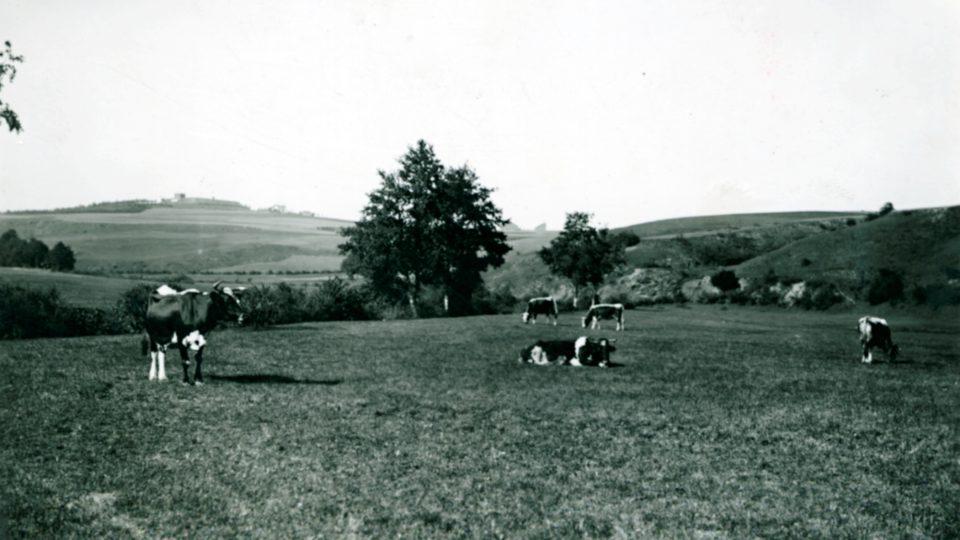 Pasení dobytka na Homolce. 20. léta 20. století