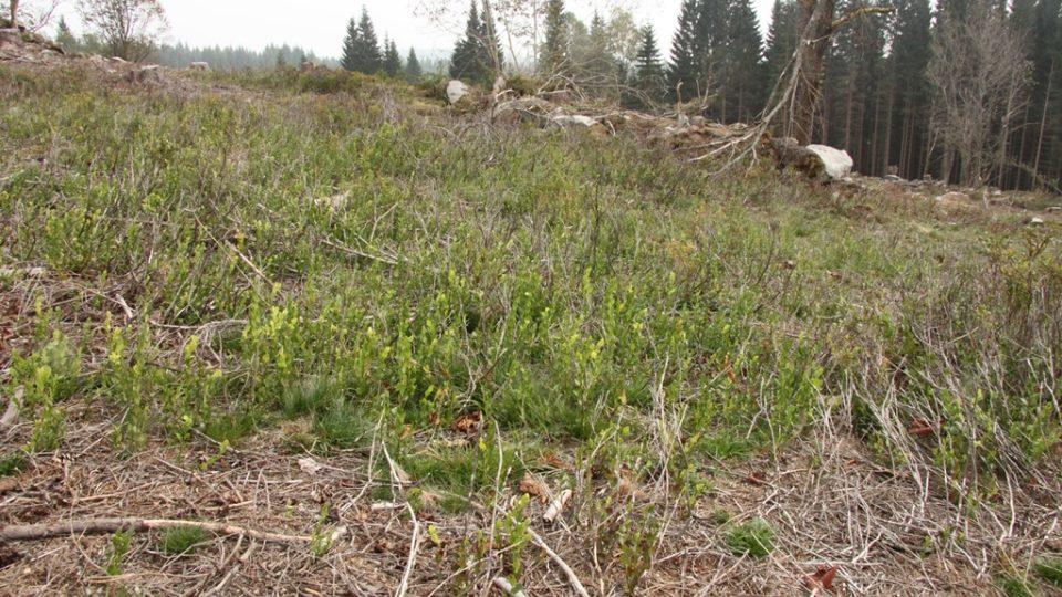 Regenerace borůvky na plochách po odstranění náletových dřevin na Knížecích Pláních