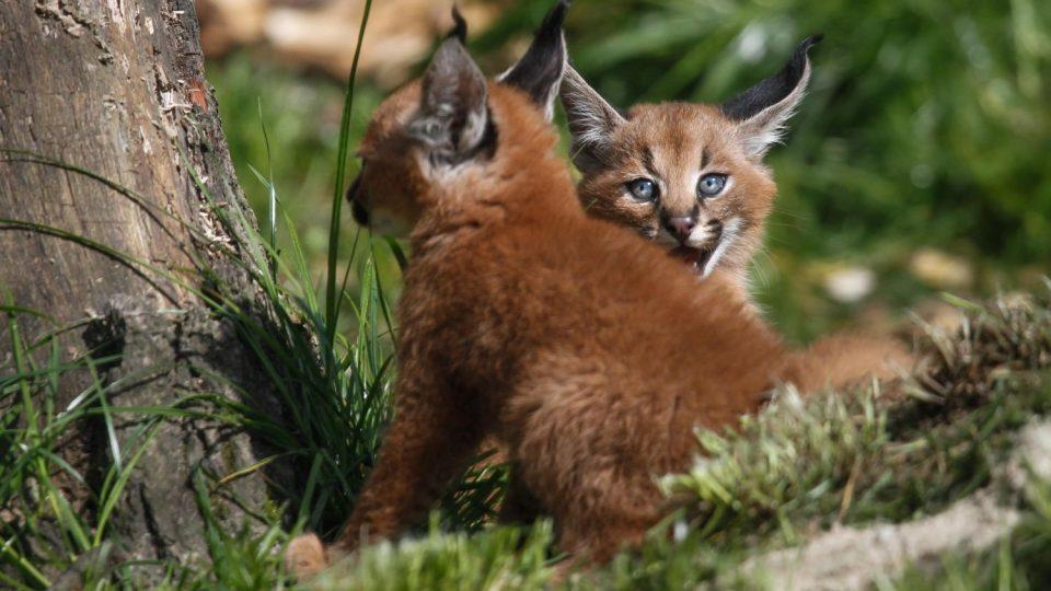 Jedinečný zvířecí poklad - karakalí trojčata