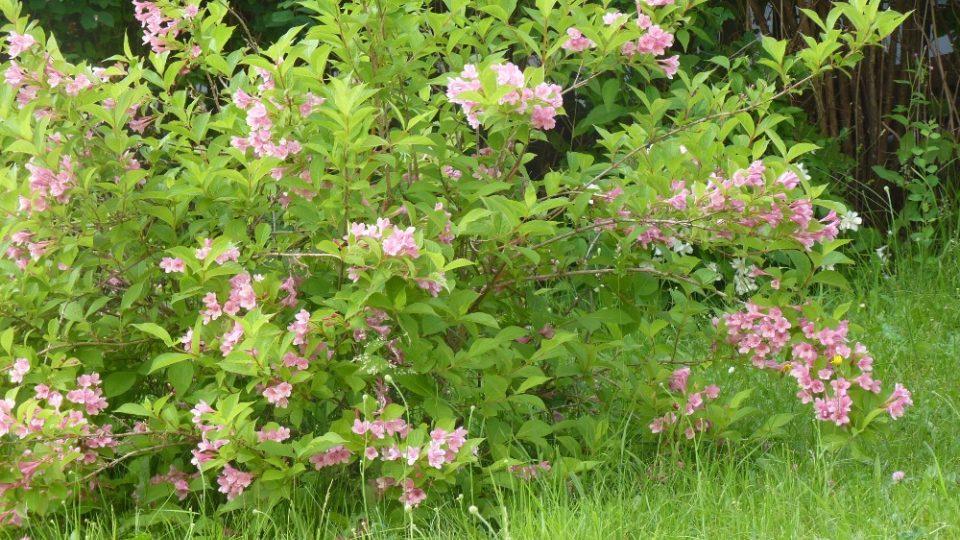 Snímek z fotografické soutěže pořadu Zelené světy - téma Kvetoucí keře. Zaslala Marie Zídková