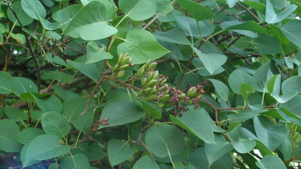 Plody tvořící se po odkvětu šeříku
