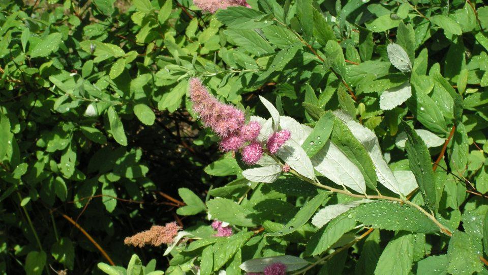 Spiraea Douglasii - kvetoucí keř. Barevně kvetoucí tavolníky kvetoucí v létě snesou i řez těsně u země, ještě v létě vykvetou