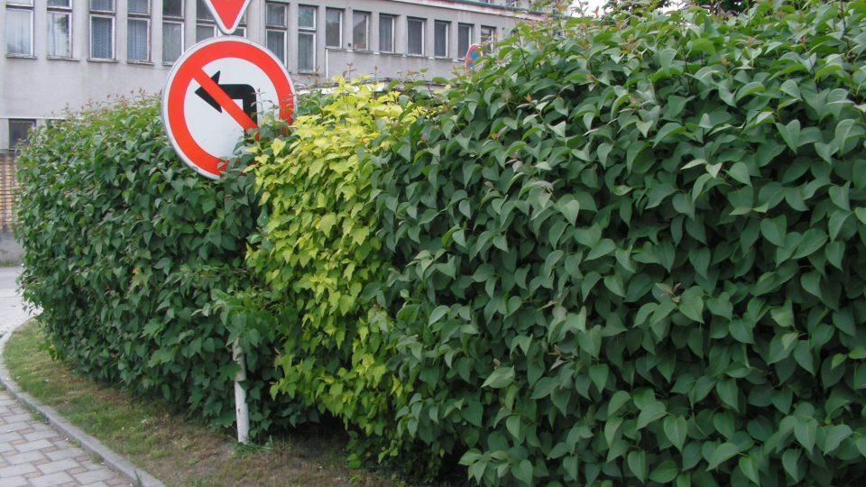Živý plot ze šeříku. Pokud se řeže jen na jaře pokvete. Na obrázku Syringa Šeřík Physocarpus Tavola