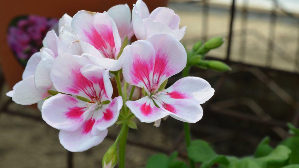 Květy mívají uvnitř znak nebo mohou být roubené