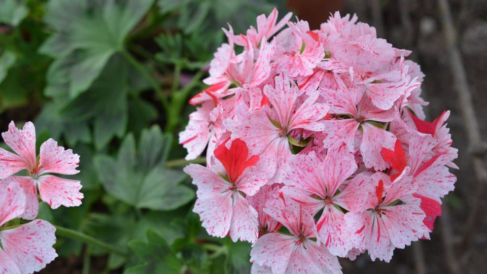 Květy pelargonií mají nepřeberné množství barev, tvarů, velikostí