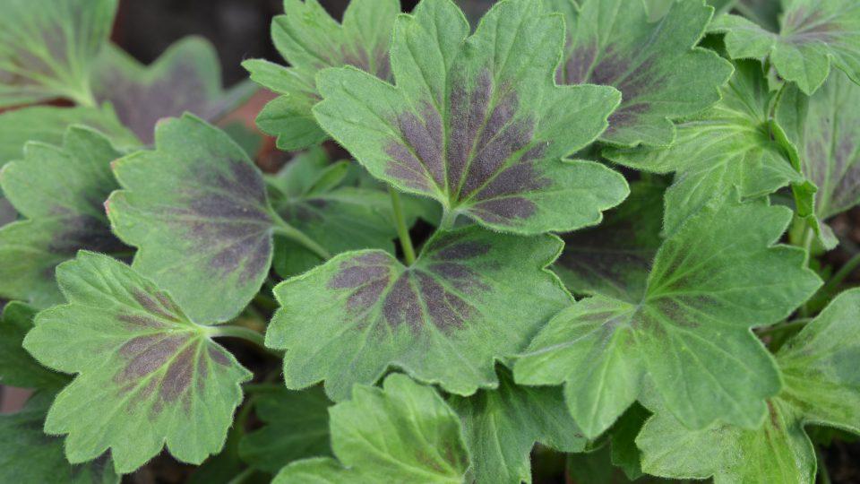 Pelargonie mají různé listy tvarově i zbarvením
