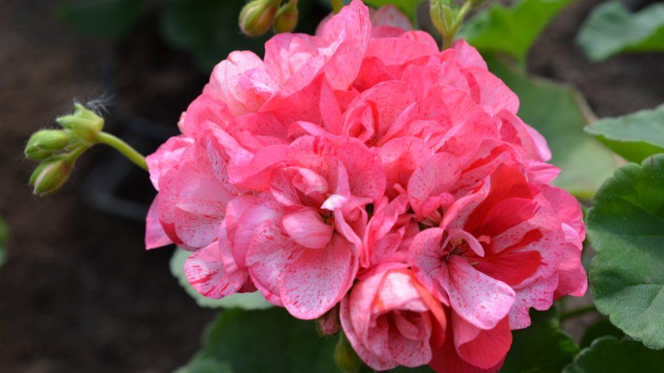 Žíhané květy pelargonie
