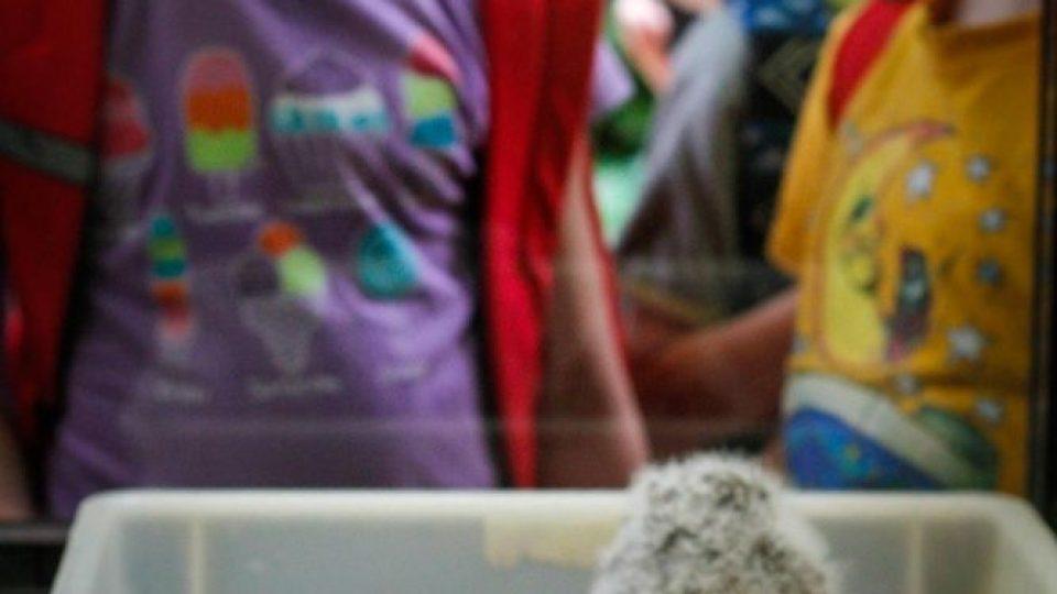 Mláďata výra afrického, poprvé odchovaná ve Dvoře Králové