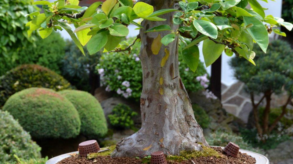 Japonská zahrada, Kněževes