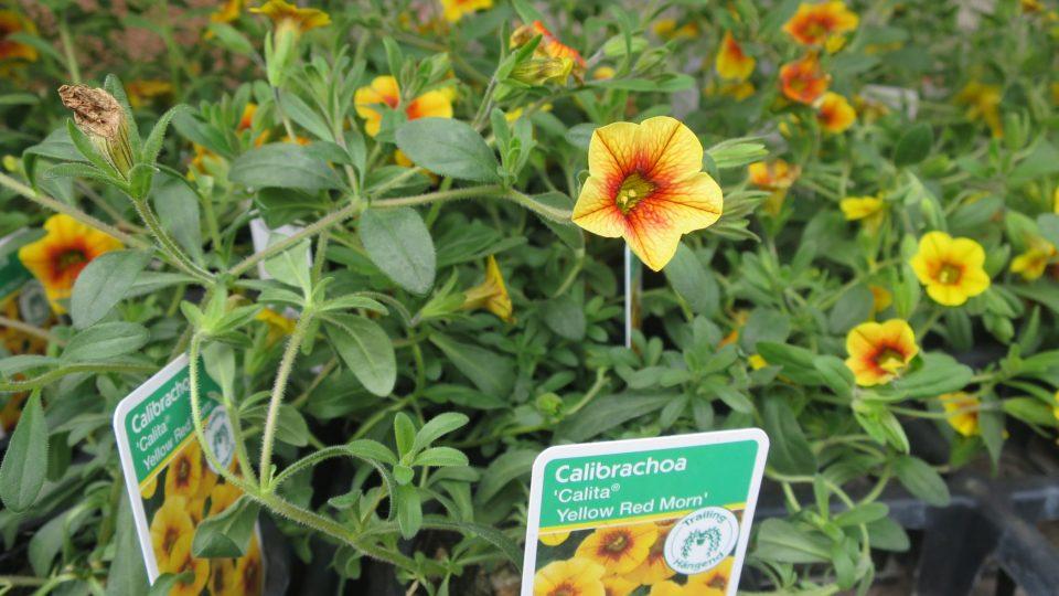 Calibrachoa neboli Million Bells - letnička, která připomíná miniaturní petunie