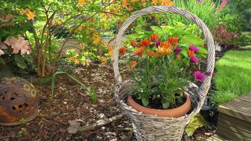 Vděčná letnička v košíku Osteospermum