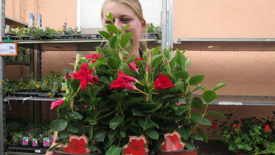 Zahradnice Eva Mauerová ukazuje popínavou liánu Sundaville známou i pod názvem Mandevilla, česky dipladénie