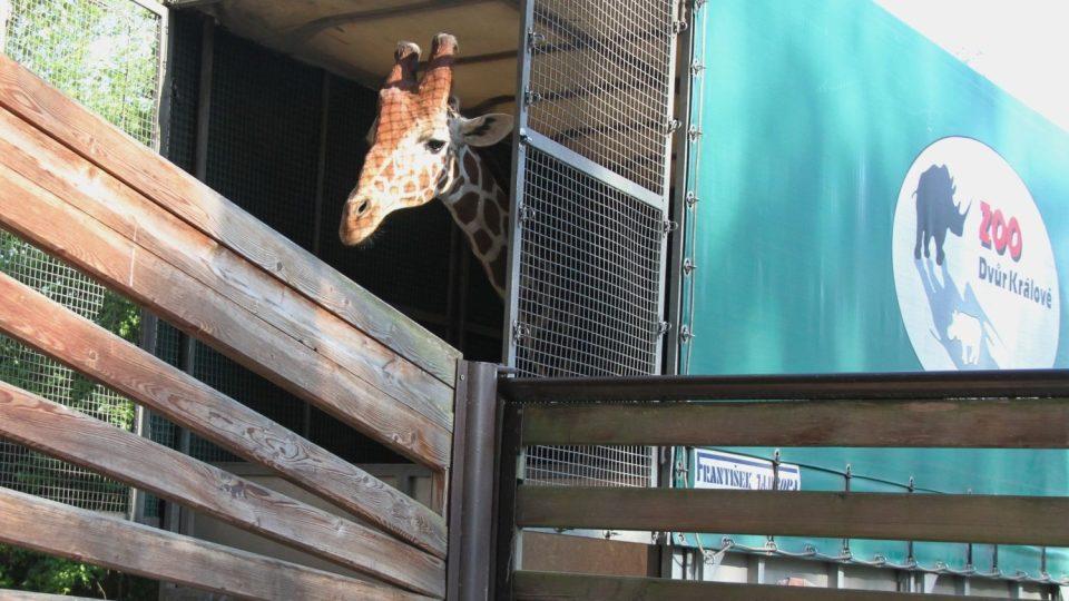 Máte poprvé možnost projíždět se mezi volně vypuštěnými žirafami v safari ZOO Dvůr Králové