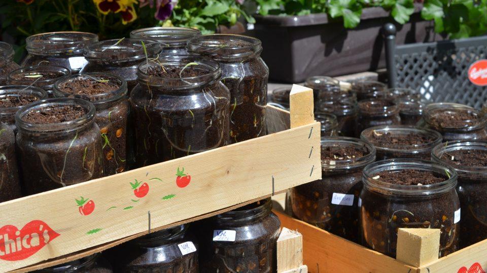 Ve sklenicích u pana Nováka klíčí semínka martagonů z celého světa