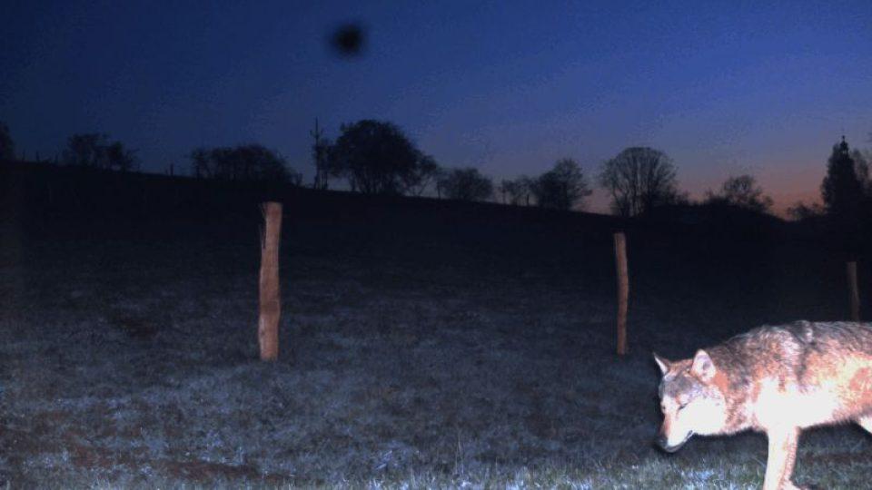 Vlci na Broumovsku, jak se s nimi naučit žít?