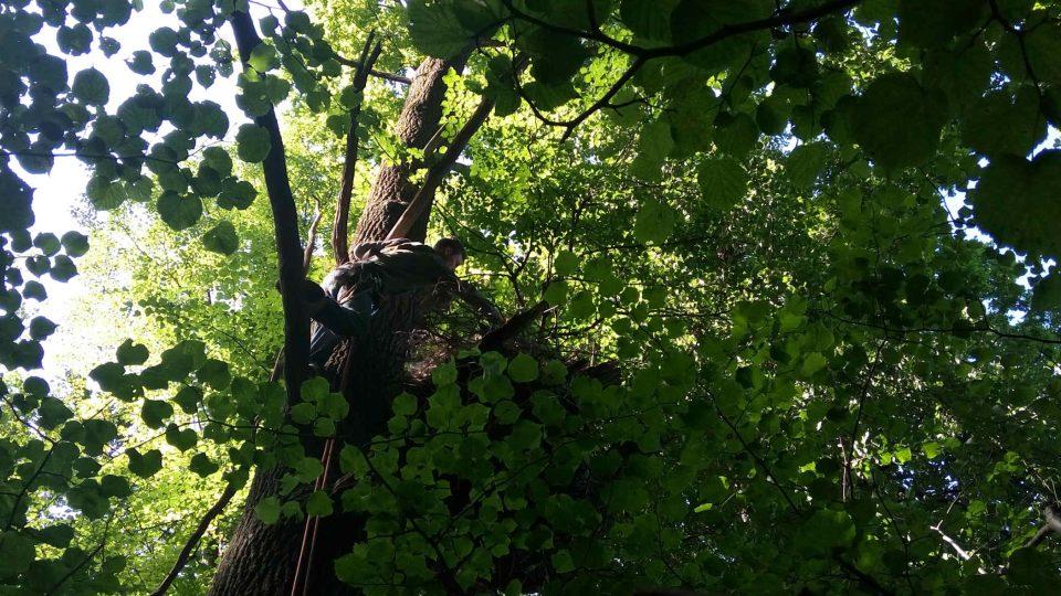 Kroužkování mláďat čápa černého v Beskydech