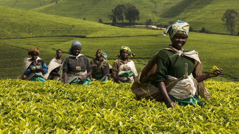Sbírání čaje ve Rwandě