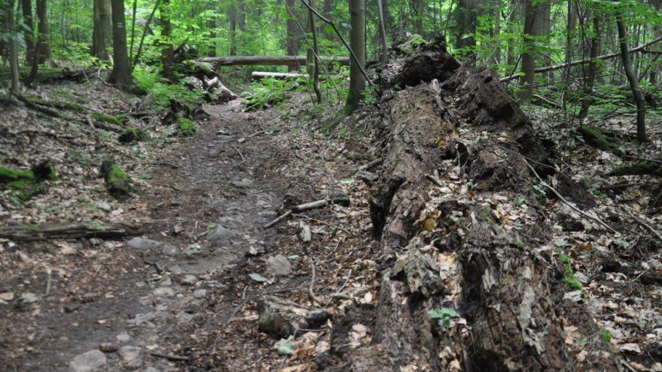 Pralesem vede značená turistická stezka s naučnými tabulemi