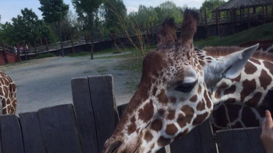 Žirafa je nejvyšší ze všech suchozemských živočišných druhů