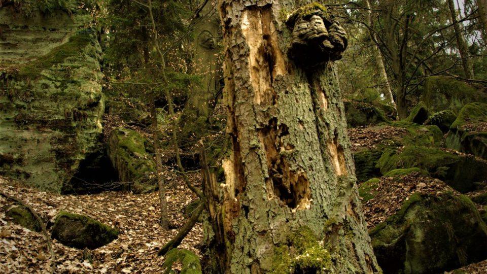 Mrtvý - živý strom v Babinci v Prachovských skalách