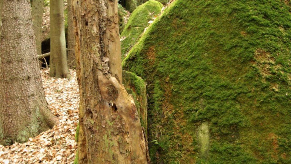 Mrtvý - živý strom v Babinci