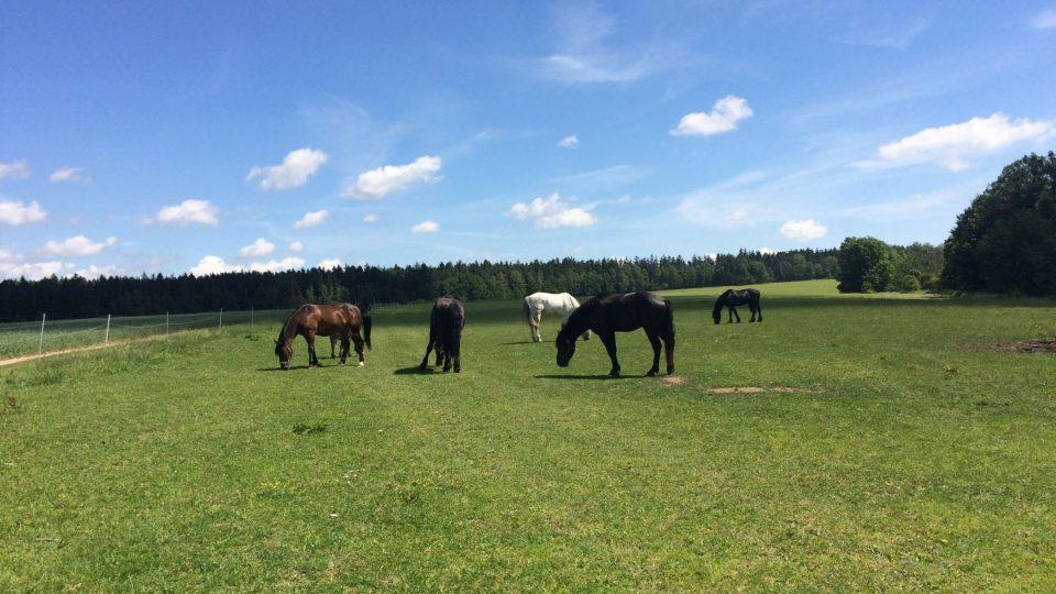 Koně na statku v Pazuše právě  na pastvě. Kdo by to byl řekl, že jsou to filmové hvězdy