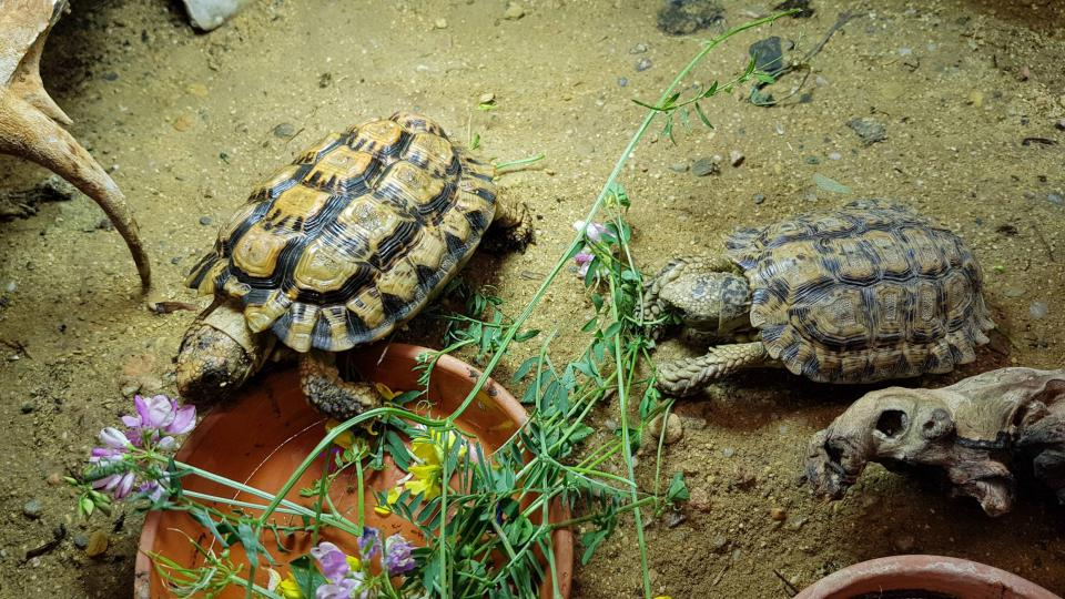 Jedny z nejstarších želv v chovu Oldřicha Mudry mají dokonce jména – Bedřich a Bedřiška