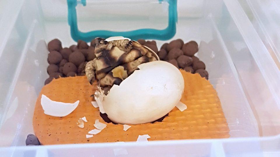 Úspěšný prvoodchov želvy trpasličí v Česku se povedl Oldřichu Mudrovi
