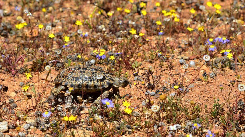 Nejmenší suchozemská želva světa je želva trpasličí. V dospělosti dosahuje 8 cm