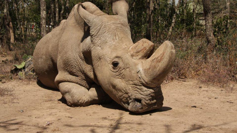 Sudán, jediný známý žijící samec nosorožce tuponosého (jinak též bílého) severního, v keňské rezervaci Ol Pejeta