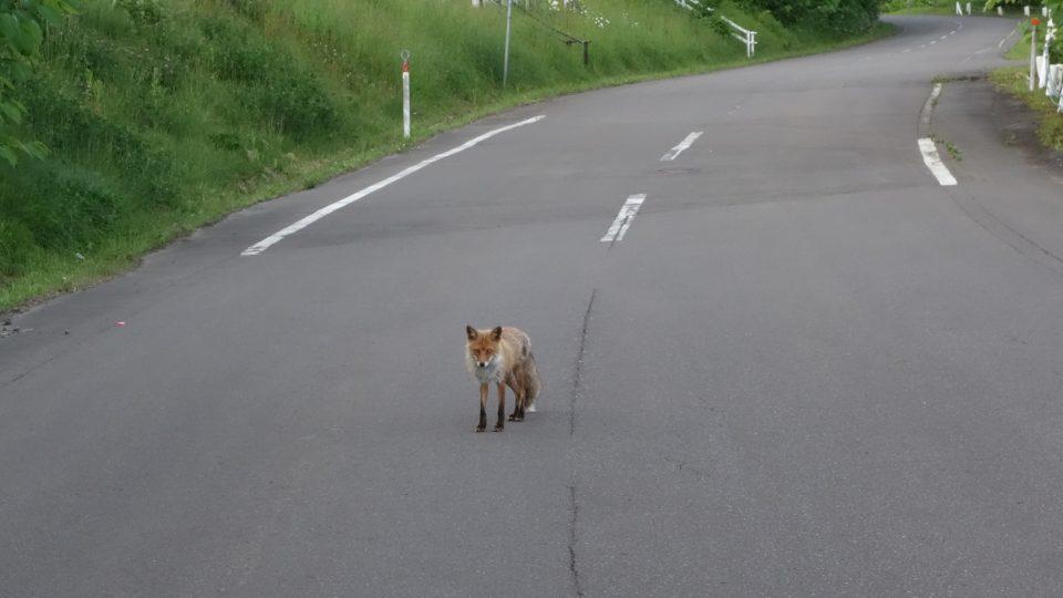 Na Hokkaidu nás často zdravily lišky