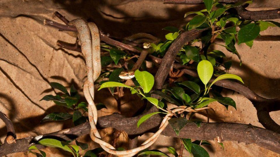 Lijánovec kapský - rodiče při páření