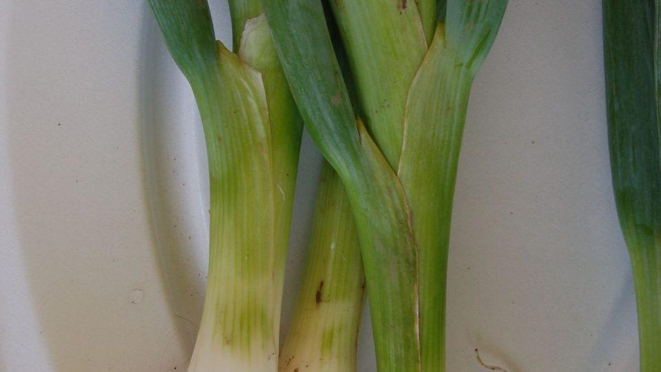 Gerda cibule vhodná na sklizeň se zelenou natí, seje se na podzim