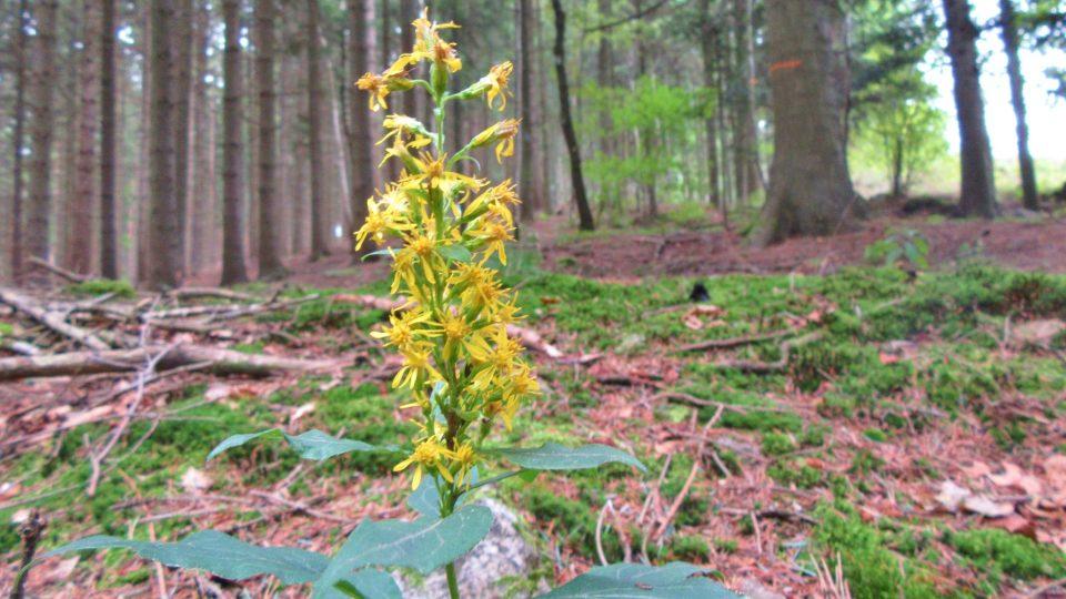 Jedlový les pod Drkolnou